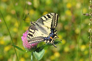 Schmetterlingslarven schützen sich vor der Kälte, indem Sie im Laub überwintern